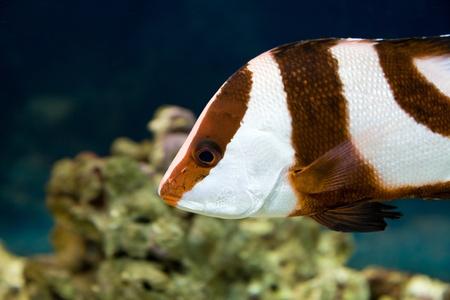 damselfish: White-tailed damselfish  dascyllus aruanus  in aquarium