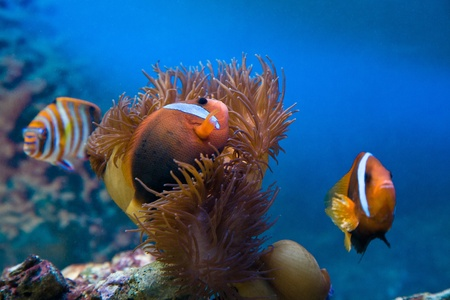 Close-up of clownfishes with corals in blue water Stock Photo - 19912237