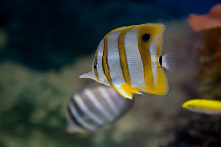 Close-up of butterfly fish underwater photo