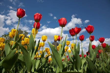 Tulips against blue sky photo