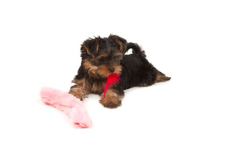 Funny yorkshire terrier with red feather on its mouth isolated on white