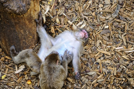 two monkeys playing lying down photo