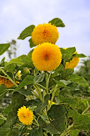 a particular variant of sunflower