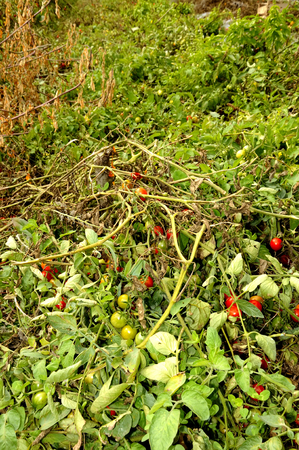 tomatoes grown in the garden Stock Photo - 22235933
