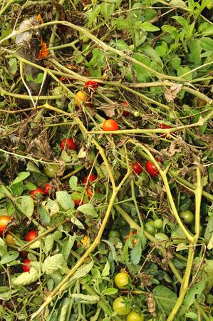 tomatoes grown Stock Photo - 22235934