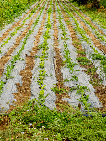 farmland with salad Stock Photo - 22235810