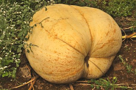 great pumpkin Stock Photo
