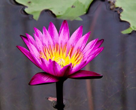 blossom lotus flower