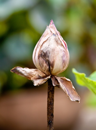 Dried lotus photo
