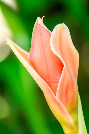 phillipine: pink  Torch Ginger
