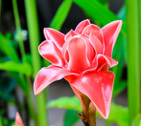pink  Torch Ginger