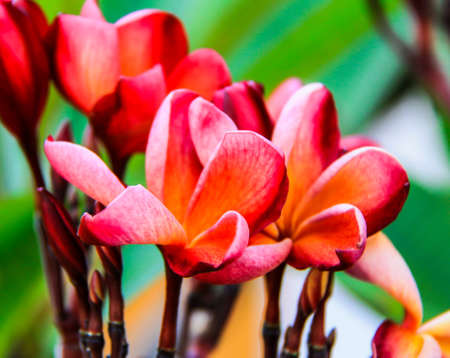Luntom, Plumeria tree Stock Photo
