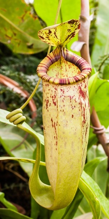 Tropical exotic carnivorous photo