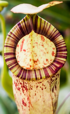 Tropical exotic carnivorous Stock Photo - 15028355