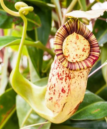 Tropical exotic carnivorous Stock Photo - 15028316
