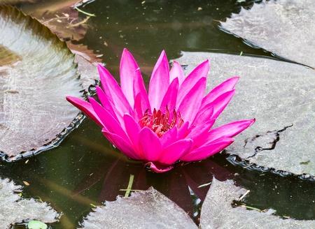 spiritless: Withered pink lotus flower