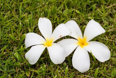 Leelavadee, Plumeria, tropical flower on grass field Stock Photo - 15163977