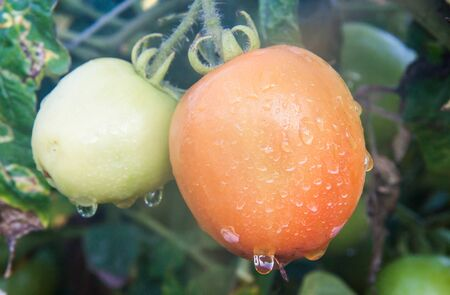 Red and green tomatoes on the vine  photo