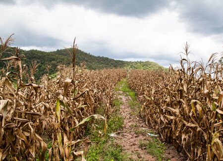 Field of dried corn stalks Stock Photo - 16432817