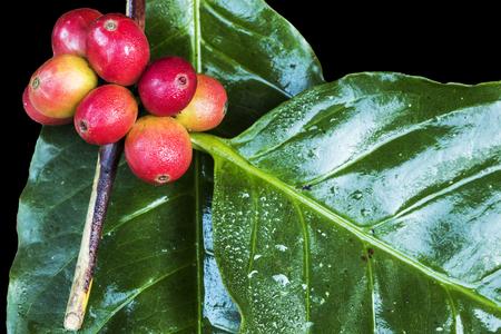 Rode koffiebonen op een tak van koffieboom, rijpe en onrijpe bessen die op zwarte achtergrond worden geïsoleerd Stockfoto