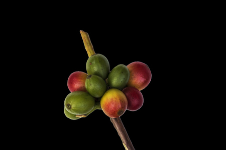 cafe colombiano: Red coffee beans on a branch of coffee tree, ripe and unripe berries isolated on black background Foto de archivo