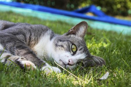 Thai Cat Portrait in garden