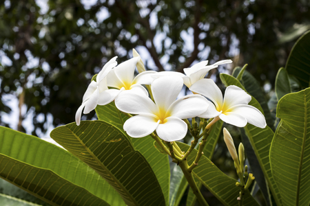 White and yellow frangipani flowers with leaves in background Stock Photo