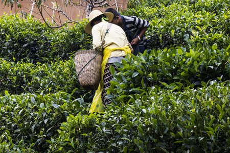 Workers pick tea leaves in Mae Hong Son, Thailand