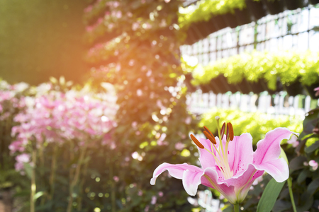 beautiful pink lily flower background Stock Photo