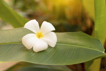 white Plumeria flower Put on banana leaves 版權商用圖片