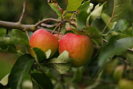 Red apples on a tree in an orchard Stock Photo