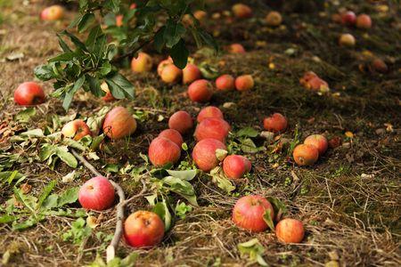 Fallen red apples  Stock Photo