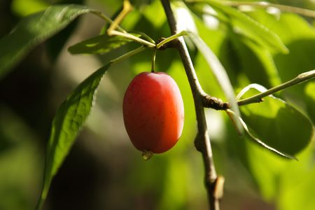 Plum growing on a tree in the sunlight Stock Photo