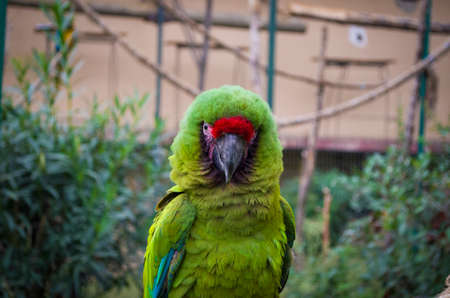 wild-parrot-bird-green-parrot-great-green-macaw-ara-ambigua-wild-rare-bird-in-the-nature-habitat Stock Photo