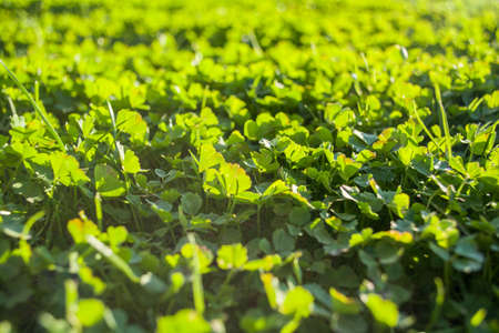 field of a green clover background clovers three leaf day of st patrick concept