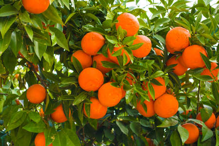 Fresh and ripe oranges in the branch of the tree