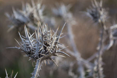 Dry prickly stem and inflorescence of thistle. Thistle, Onopordum acanthium.