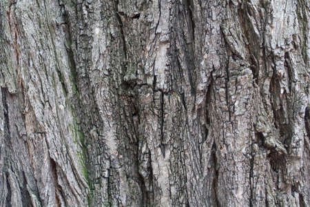 Background image natural the bark of a tree with visible structure and roughness