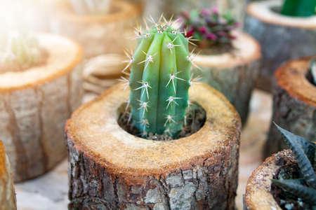 Mini Cactus plant at cactus farm or call Pilosocereus seperate