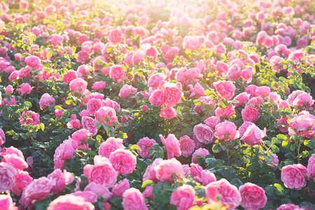 Pink beautiful rose blooming in the botanical garden