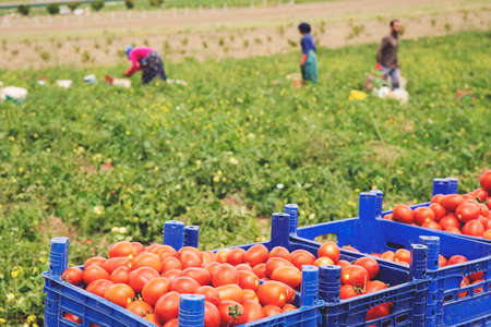 Picked tomatoes in crates on the field