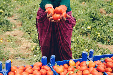 Close-up of farmer hands in gloves holding several ripe tomatoes. Woman examines tomato in hand. Harvesting in the field, organic products Stockfoto