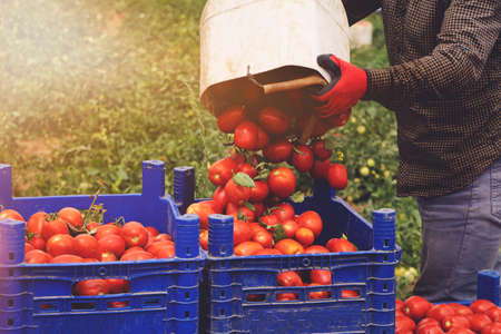 man picks a crop of tomatoes and puts them in a box in a vegetable garden. Harvesting in the field, organic products Stockfoto