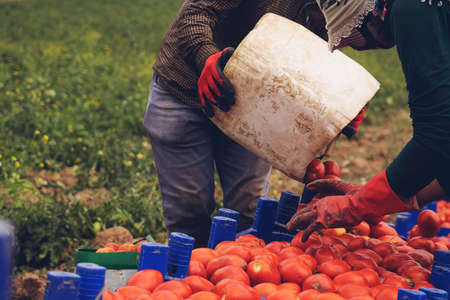 Farmers picks a crop of tomatoes and puts them in a box in a vegetable garden. Harvesting in the field, organic products
