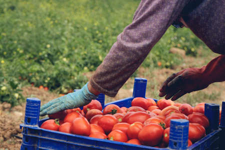 Farmer picks a crop of tomatoes and puts them in a box in a vegetable garden. Harvesting in the field, organic products