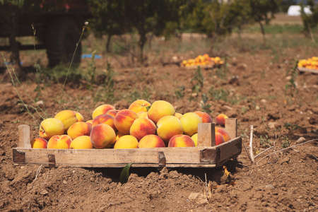 Fruit boxes with red ripe peaches in the garden, a lot of peaches, harvest concept Stockfoto