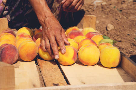 Fruit boxes with red ripe peaches in the garden, a lot of peache. Woman farmer harvesting peaches from tree in garden. Agriculture concept