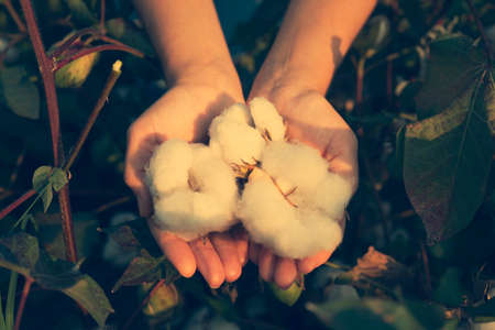 In the hands of the cotton grower harvested cotton Stockfoto