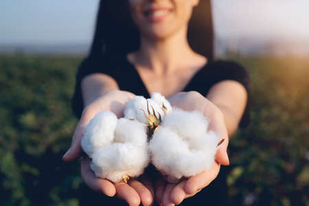 natural product, raw cotton flowers on womans hands on green cotton field outdoor background Stockfoto