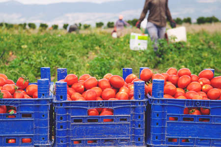 fresh red tomatoes loaded on fruit boxes in green field